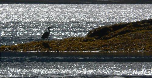 blue-heron-funter-bay-thumb (60k image)