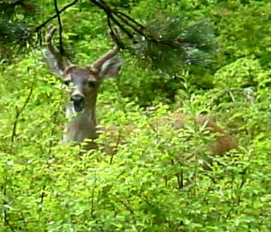 deer (57k image)