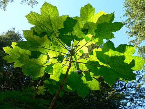 devilsclub-leaves-light-shining-through (96k image)