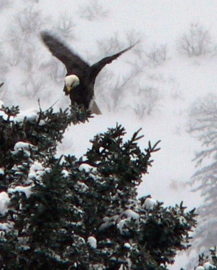 eagle-landing-douglas-harbor-alaska (98k image)