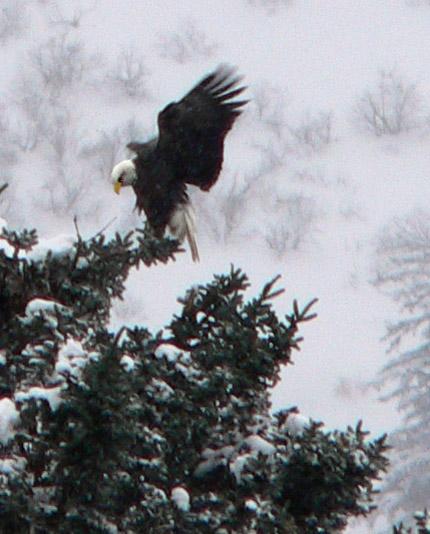 eagle-landing-douglas-harbor-alaska2 (93k image)