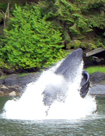 feeding-whale-alaska1 (99k image)