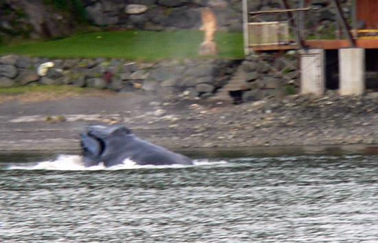 feeding-whale-near-shore (87k image)