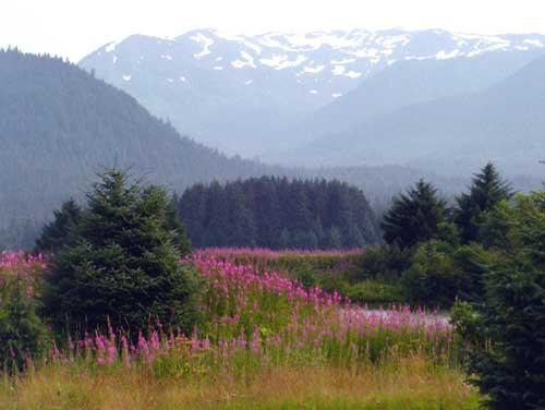 fireweed-landscape-cropped500 (36k image)