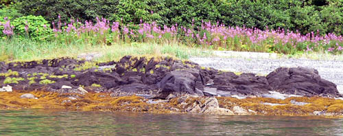 fireweed-rocks-seaweed-ocean-auke-bay-alaska-thumb (59k image)