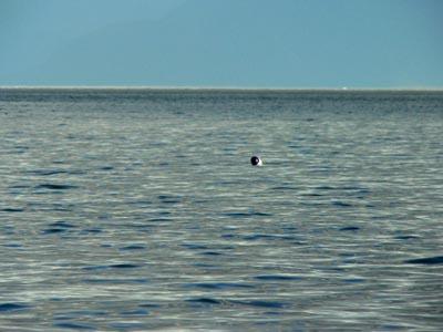 harbor-seal (37k image)