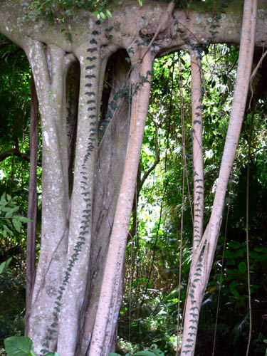 hawaiian-tree-roots (86k image)
