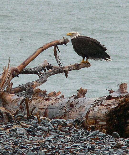 homer-eagle (120k image)