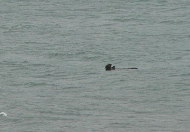 homer-otter (44k image)