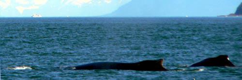 humpback-wales-auke-bay-thumb (31k image)