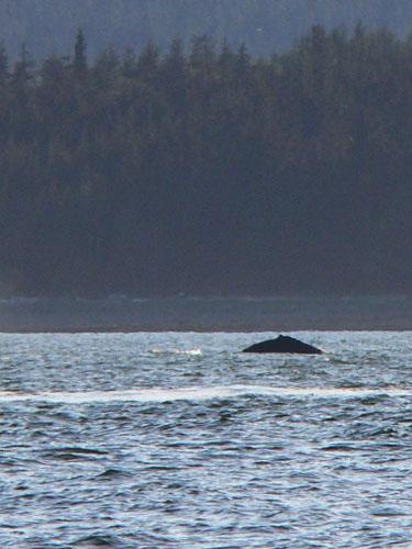 humpback (61k image)