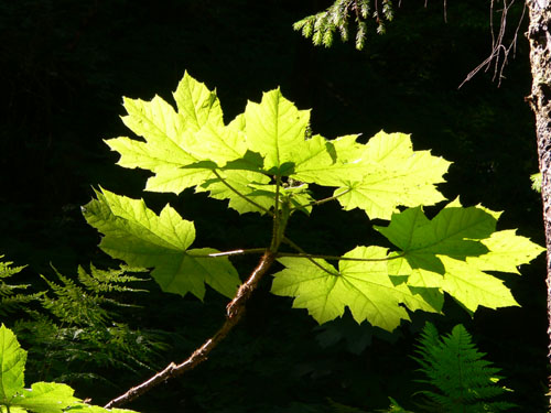 more-devilsclub-leaves-with-light-shining-through (74k image)