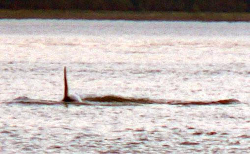 orca-killer-whale (64k image)