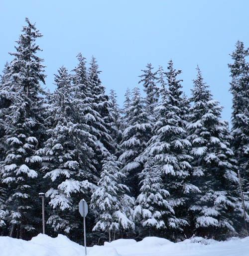 parking-lot-alaskan-trees (100k image)