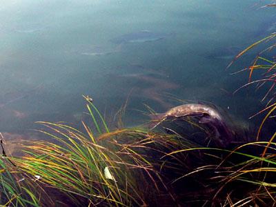 salmon (56k image)